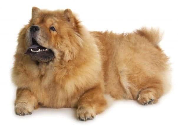 Как выглядит порода собаки Чау-чау?